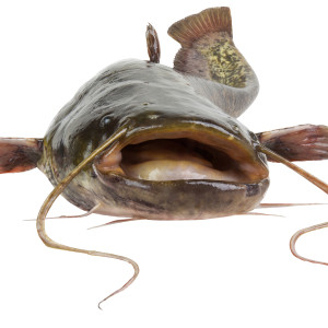 Catfish Program Bad for Taxpayers and Free Trade