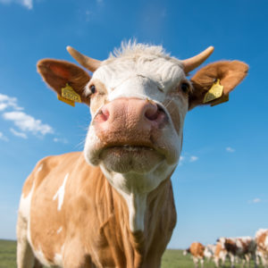 Increased Methane Levels?: Cows Are to Blame, Says New Study