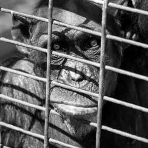There Is No Monkey Shortage for COVID-19 Research — Because No Monkeys Are Needed