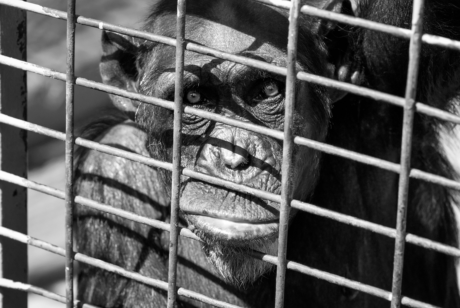 """should animals be kept in cages Wild animals in captivity - wild animals should not be kept in captivity et al """"plastic animals in cages: behavioural flexibility and responses to captivity""""."""