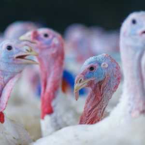 Turkeys: a Look Through the Numbers