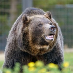 Recognizing Grizzly Bear's Recovery in Yellowstone Will Spur Further Conservation Efforts