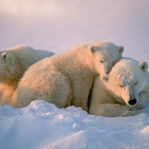 Consider Polar Bears: Cute, Iconic — and Surprisingly Abundant